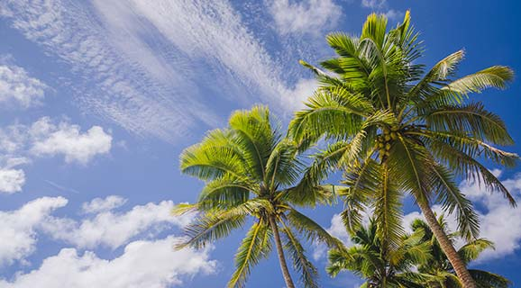 Coconut palm trees in Florida